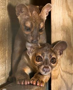 The only time the fossa seems to vocalize is during breeding: the female mews to attract males; males howl and yowl when competing for a female. A fossa may roar to intimidate a fellow fossa or in defense. Fossa pups make a purring sound when nursing or near their mother. http://ift.tt/1lTuYJ9