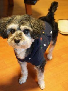 Yorkie Bichon Puppies for Sale yorkie/bichon mix puppies