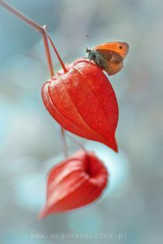 Physalis alkekengi aka Japanese lantern, Chinese lanters, Bladder cherry, Winter cherry.