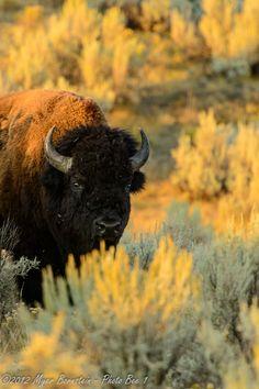 American Bison (Bison bison) by Myer Bornstein on 500px