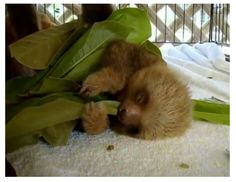 baby sloth passed out from eating