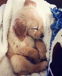 Sleeping Golden Retriever beauty