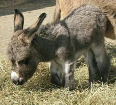 One day old baby donkey♡