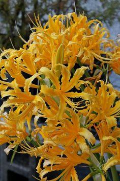 Lycoris aurea La Jolla