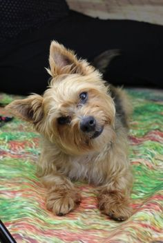 I wonder if my Lilly will look like this Yorkshire Terrier and a Jack Russell Terrier mix.