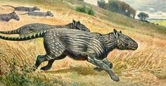 The Phenacodus was a mammal placental condylarths order. As features an animal was relatively small and light. His skull was too small and his back arched. It was also one of the first animals to present hooves. It was estimated that as much herbivore carnivore. Etymology: Age: Paleocene to Eocene (55 million years) Location: North America. Height / Length: 0.5 m long. Weight: Food: Omnivore.