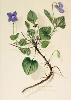 Violette des chiens - Viola canina