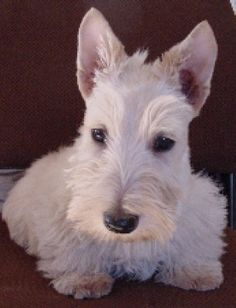 scottish terrier dog breed- I'm going to get a red one and name him Jamie Fraser