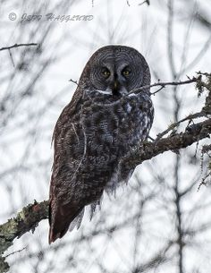 Great Gray Owl | Flickr - Photo Sharing!