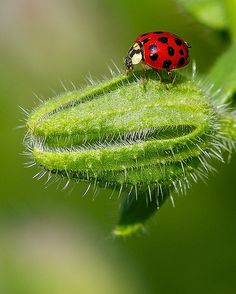 Risky Walk  ...................................................................................................................................................... more lady beetle:  http://pinterest.com/pin/446137906807097522/