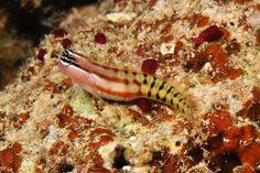 Ecsenius fijiensis Springer 1988, the Fiji Blenny. Endemic to Fiji. To 3.9 cm. Bligh waters