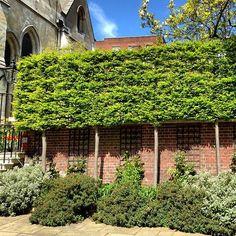 Beautiful stilted Hornbeam hedge Carpinus betulus pleach.