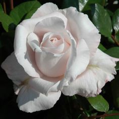 Remember (Bush Rose)