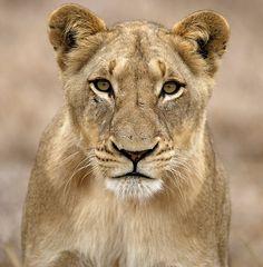 Selati Lioness   Lioness from the Selati pride in Mala Mala   Lyndon Firman   Flickr