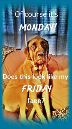 Of course it's Monday! Does this look like my Friday face? #dog #dogmeme #funny #mastiff #englishmastiff #bigdog #gentlegiant #mastiff_happy #meme