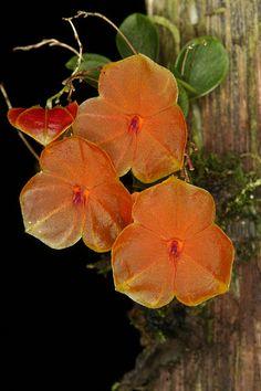Lepanthes telipogoniflora 6997