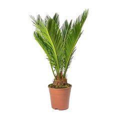 Cycas revoluta - Sago Palm - 24 x Indoor Palms, Indoor Outdoor, Sago Palm Care, Tall Planters, Rubber Tree, Indoor Plant Pots, Liquid Fertilizer, Office Plants, Summer Rain