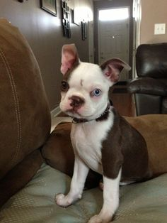 "Annie! I read an article on Boston Terriers with ""rare"" colors and blue eyes and how they don't meet the kennel standards. I say phooey! She may not be a show dog, but she is a winner in my eyes! Her personality and everything about her is SO Boston Terrier!"