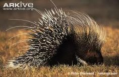 porcupine family - Google Search