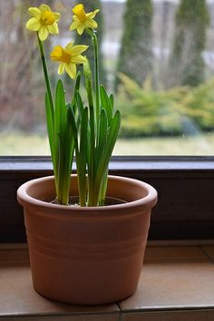 daffodil in terracotta pot