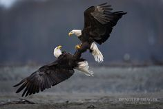 When bald eagles mate they soar to dizzying heights then lock talons and free fall together in a stunning display of love, then at the last second they release and fly off together