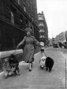 Margaret White arriving at the International Poodle Club Show at Marylebone, London, with Toy and Miniature poodles owned by Mrs Davies of London. (Photo by Folb/Topical Press Agency/Getty Images). 28th March 1956