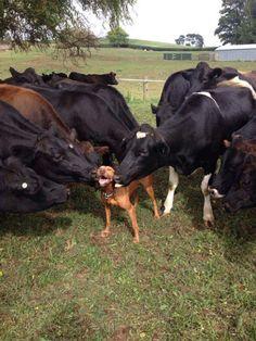 Cows giving pitbull kisses...cuteness overload!!!