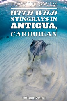 How To Swim With Wild Stingrays In Antigua In The Caribbean - Hand Luggage Only - Travel, Food & Home Blog