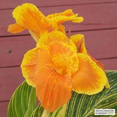 Canna Lily Tropicanna Gold, Canna Lily Tropicana Gold