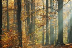 Sunbeams in a Colorful Autumnal Forest -             Fotobehang & Behang -           Photowall