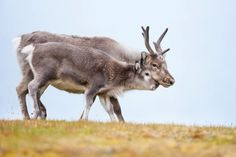 Female reindeer with antlers, alongside her calf on Arctic tundra © Ken Canning / Getty Female Reindeer, Deer Species, Arctic Tundra, Cairngorms, Rudolph The Red, Animal Facts, Red Nosed Reindeer, Antlers