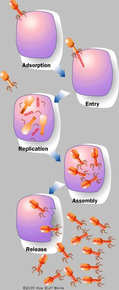 biology biologia website to use when teaching how viruses invade the body Biology Classroom, Biology Teacher, Ap Biology, Teaching Biology, Science Biology, Medical Science, Science Education, Life Science, Forensic Science