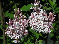 Syringa microphylla 'Superba' Lillà