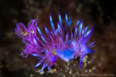Pretty Sea Slugs | Sea Slug Shell