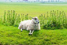 Laughing Sheep.