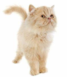 Attól függetlenül, hogy a megjelenése uralkodói, a mozgása finomkodó és előkelő, nem szabad megfeledkezni arról, hogy egy macskáról van szó. Él–hal a játékért, vérében van a vadászat is. Ahhoz hogy kiegyensúlyozott és boldog lehessen, ne csak fésülgessük és simogassuk, hanem játszunk is vele sokat. A cicák tartása rengeteg örömmel és vidám pillanattal kecsegtet, de ahhoz, hogy ők is jó érezzék magukat, sok törődést és odafigyelést is adni kell nekik, így a kapcsolatunk tökéletes lehet.