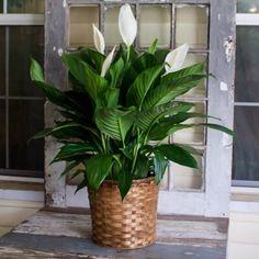 Aceste flori atrag iubirea și fericirea! Top 10 cele mai necesare plante în casă - Eu stiu Saintpaulia, Kids Poems, Green Life, Hibiscus, Places To Visit, Mai, Tropical, Flowers, Interiors