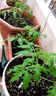 Pot gardens with a list of foods that grow well in pots