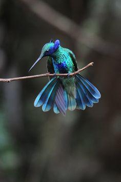 http://www.oiseaux.net/photos/marc.fasol/images/colibri.anais.mafa.3g.jpg