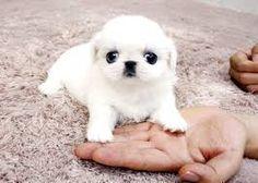 """Képtalálat a következőre: """"pekingese puppy"""""""