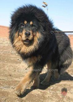 "Dogue du Tibet ou Mastiff Tibétain, dit ""lion du Tibet"" ♥ Bodhi's Tibetan Mastiff ancestors ♥"