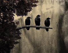 Three Crows http://fineartamerica.com/featured/three-ravens-gothic-and-crows-art-photography.html