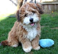 Poodle Mix BreedsDoxiepooDachshund/Poodle Doxie Love