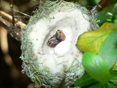 Baby hummingbird. The white part of the nest is about a penny and a half across to put it in perspective of how tiny this baby bird is.