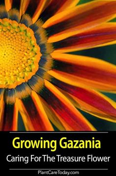 Gazania - known as the Treasure Flower a South African native showy bright colorful daisy-like flowers drought-tolerant well-drained soil full sun. Gazania Flowers, Flowers Perennials, Beautiful Flowers Garden, Beautiful Gardens, Growing Flowers, Planting Flowers, Flower Gardening, Gardening For Beginners, Gardening Tips
