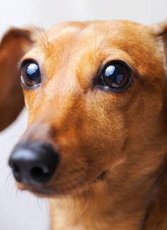 Beautiful #Dachshund eyes...  More cute pinable #puppies can be found by clicking on this pic