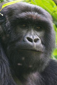 Gorillas by safari-partners, via Flickr