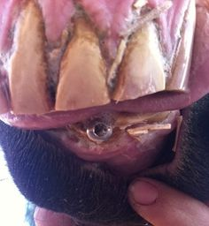 Mare With Screws In Gums Rescued