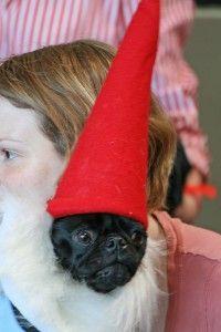 pug dressed like garden gnome