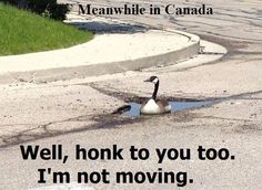 Canada Geese don't give a shit Canadian Memes, Canadian Things, I Am Canadian, Canada Funny, Canada Eh, Canada Goose, Funny Cats And Dogs, Funny Animals, Meanwhile In Canada